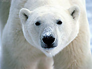 KidZone Animal Facts The Polar Bear