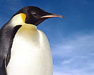 Emperor Penguin Facts for Kids | Penguins Information