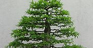An Introduction to Bonsai: History, Cultivation and Size Classifications.