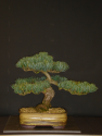 Japanese White Pine Re-pot (Chapter 1).