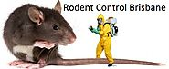 Affordable Bird Control and Rodent Control in Brisbane – RA Dibbs