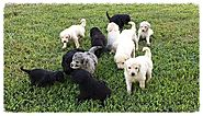 Goldendoodle Puppies and Their Cross-Breeders