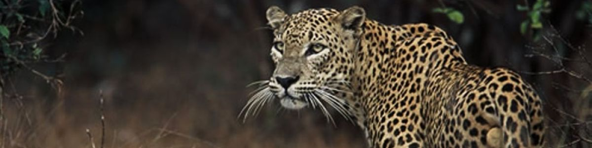 Headline for Best Wildlife Safaris in Sri Lanka – Experience Face to Face Adventure with the Best of Wildlife