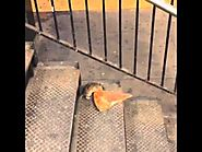 New York City rat taking pizza home on the subway (Pizza Rat)