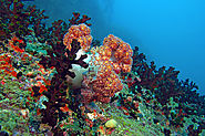 Leather Coral Reef