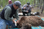Scientists Contest Removing Grizzlies from Endangered Species List