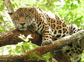 Fast Fact Attack: Endangered Species No. 93 - The Jaguar