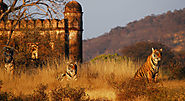 Ranthambore Tiger Safari Packages
