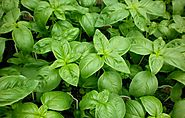 Basil - Plants and Herbs - Tea For Beauty