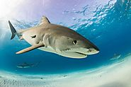 Behavioural Patterns of Dangerous Shark Species