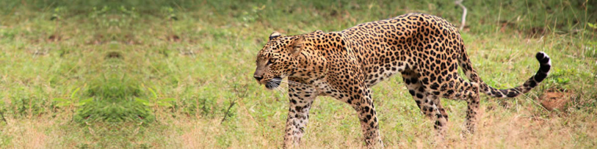Headline for Most Popular Sites in Yala – Discover the Splendour of Nature in the Wild