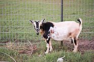 Goats are sly escape artists, so having the right fencing is crucial to keeping them in!