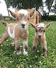 Goats are stinking cute, and these pictures are proof!