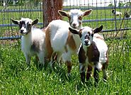 There are many different breeds of goats -- here are some of the best for homesteaders