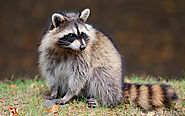 How To Keep Raccoons Out Of Your Property