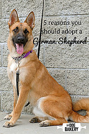 5 Reasons You Should Adopt a German Shepherd