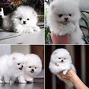 Free Classified Ads Of Pomerian Puppies For A Better Home