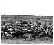 Cattle Bunching