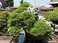 Top 5: Oldest Bonsai Trees