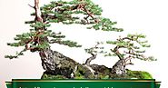Fir bonsai are rare and should only be considered suitable for the most advanced amateurs. | The Ancient Art of Bonsai
