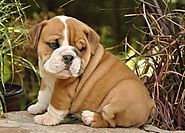 Have an English Bulldog Puppy