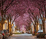 A Street with a Cherry Blossom Roof: Cherry Blossom Avenue