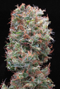 Freedom 35 Feminised Seeds