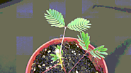 #4 Mimosa Pudica (The Sensitive Plant)
