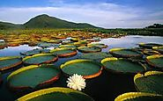 #6 Victoria Amazonica (Giant Water Lily Pad)