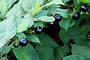 Deadly nightshade (Atropa belladonna)