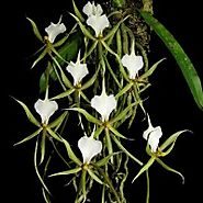 Buy Orchid Plant Online