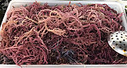 Irish Moss - The health benefits and ways to consume Irish sea moss