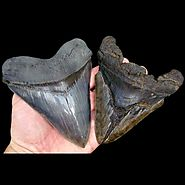 Megalodon Shark Tooth Value | What Determines the Value?