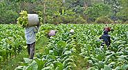 FARMERS: GIVING STRENGTH TO THE HEART OF TOBACCO PRODUCTION