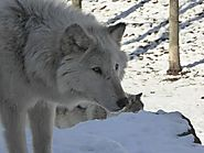 Omnibus Spending Bill Rider On Wolf Delisting Pulled