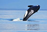 Make the Most of Your San Juan Islands Whale Watching Adventure