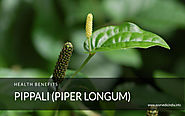 Pippali (Piper Longum) – How to Use? Health Benefits – Dose & Side Effects