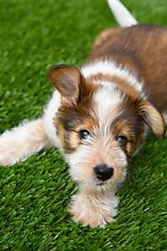 The Major Advantages of Using Artificial Grass for Dogs in Denver
