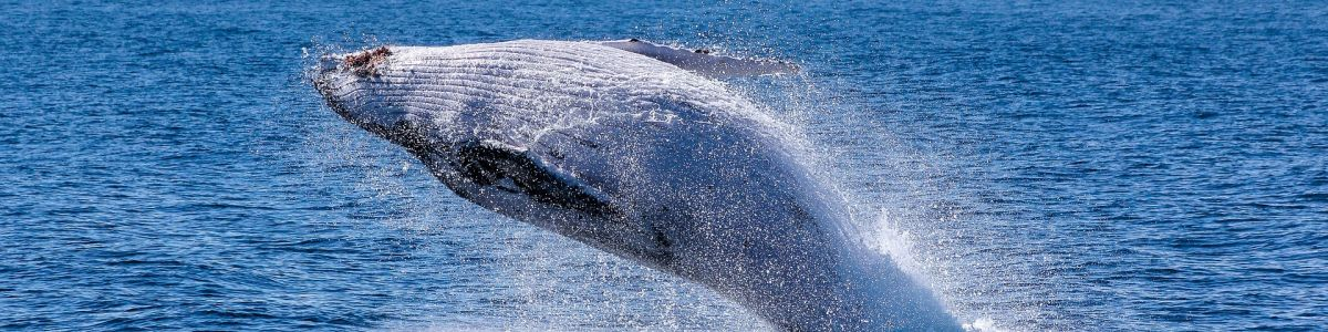 Headline for 5 Types of Whales you can Spot in Sri Lanka – Enjoy the Mesmerizing Encounters