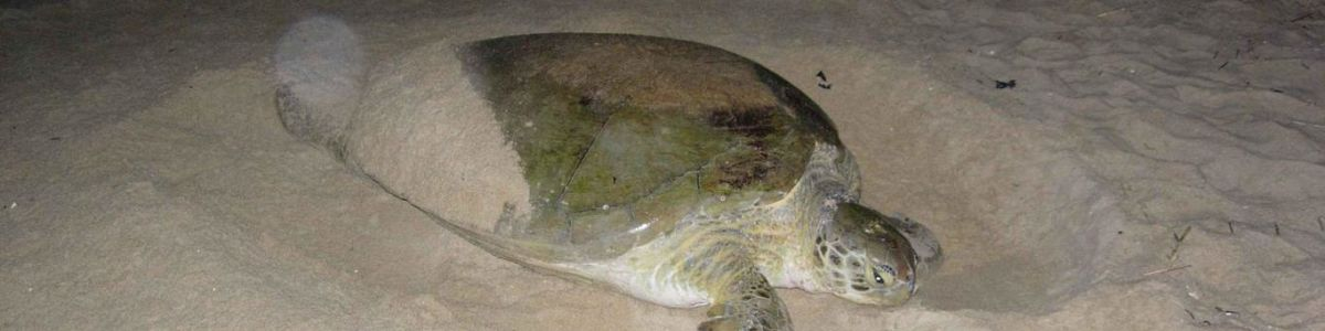 Headline for Marine Turtles of the Maldives – Keep an Eye out for Them