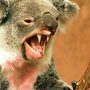 HOW MUCH CAN A KOALA (DROP)BEAR?