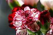 Striped Carnations