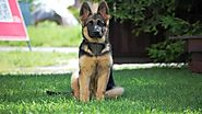 5 Tips for German Shepherd Puppies Training | Dog Collar Zone