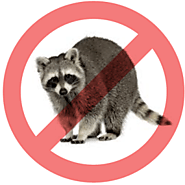 Pestico Provides Effective Raccoon Removal & Control Services in Toronto