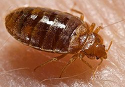 Bed bug - Wikipedia, the free encyclopedia