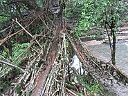 Mawsaw Root Bridge