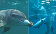 High but not dry: Dolphins filmed chewing toxic puffer fish 'to enjoy narcotic-like effects'