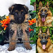 German Shepherd Puppies Available for Adoption in South Florida