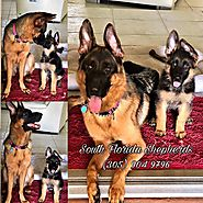 Imported German Shepherd Puppies for Sale in Naples Florida