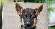Get Imported German Shepherd Puppies for Sale